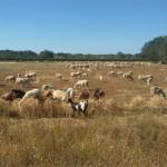 RomAtene-ottava-tappa-taranto-brindisi-pecore